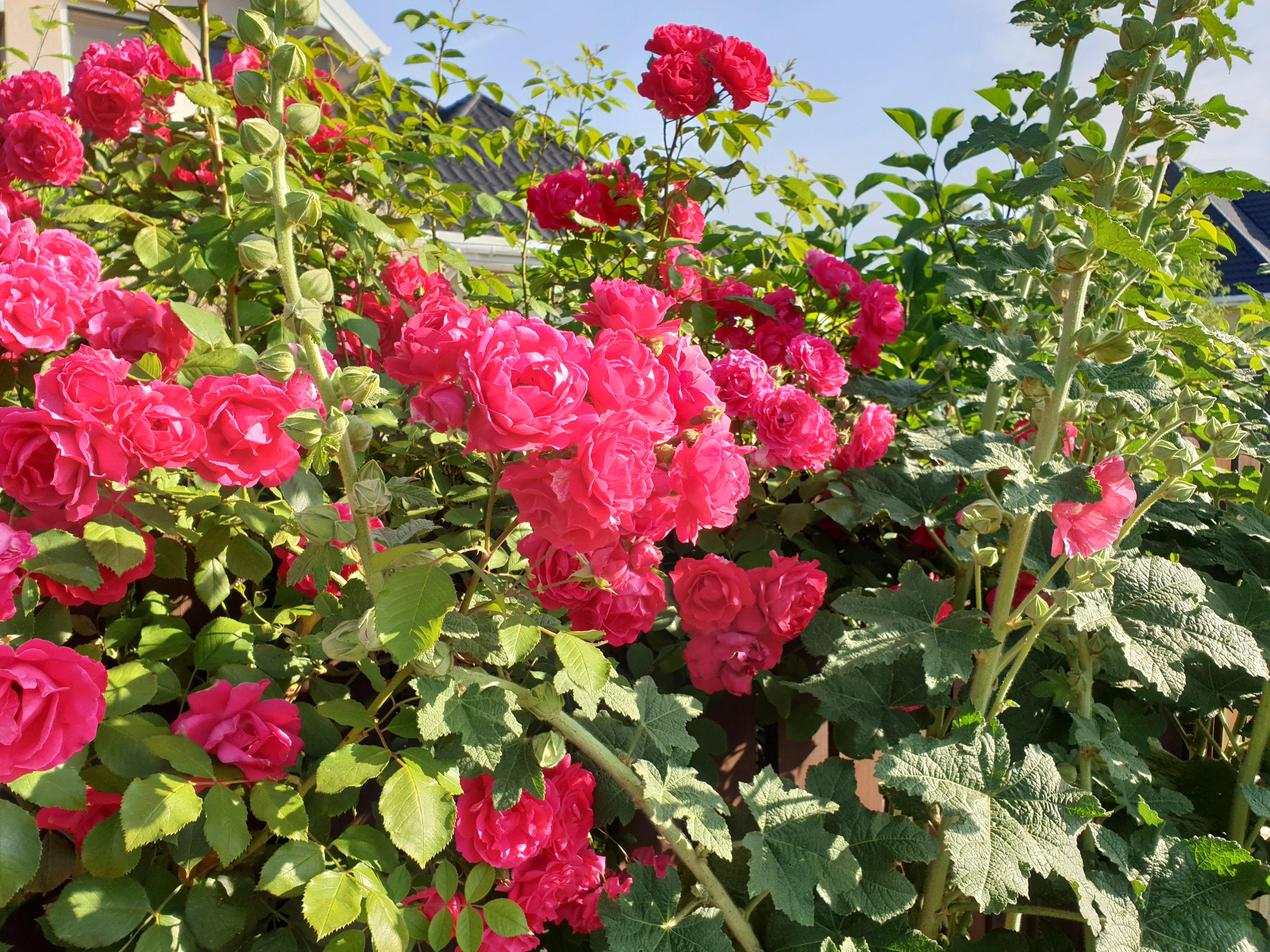 Nasze przydrożne róże